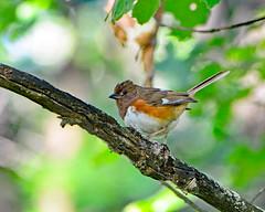 Female Rufous-sided Towhee (MoodyGoat) Tags: rufoussidedtowhee female bird ibsp illinoisbeachstatepark