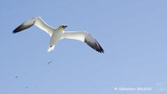 Vol au-dessus d'un nid de fou (Seb BAUDIN) Tags: nature canada québec gaspésie oiseaux île de bonaventure fou bassan d7000