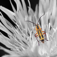 Beetle and Flower 0722017 (Orange Barn) Tags: hoerrsnursery flowers blooming summer selectivecoloring beetle bug petals 117picturesin2017