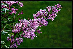 Chinese Lilac .... (scorpion (13)) Tags: chinese lilac syringa chinensis flower blossom fragrant nature plant bush garden color creative summer sun photoart