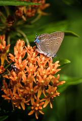 Loves Orange, Too (Portraying Life, LLC) Tags: dbg6 da3004 hd14tc k1 michigan pentax unitedstates bird butterfly closecrop handheld nativelighting portrait ricoh meadow