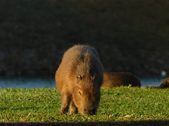 Baby capybara / University of São Paulo, Brazil (mkbls) Tags: capybara nature brazil usp animal rodent capivara