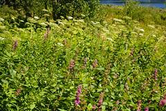 trillium lake family hike (dolanh) Tags: hiking mthoodwilderness oregon wildflowers trilliumlake