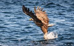 Havørn-0038 (jarud) Tags: 2017 eagle fugl havørn naturopplevelser norge norway smøla whitetailed ørn