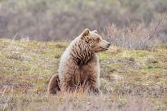 Lazy bear (frostnip907) Tags: wildlife nature alaska bear grizzly brownbear bears brownbears grizzlies grizzlybear grizzlybears denali denalinationalpark denalinationalparkandpreserve landscape tundra