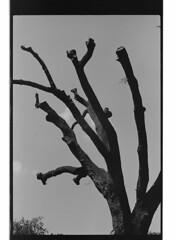 P48-2017-029 (lianefinch) Tags: argentic argentique noirblanc noiretblanc bw blackwhite blackandwhite monochrome toulouse arbre mort tree dead death