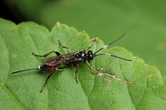 Ichneumon wasp (Lord V) Tags: macro bug insect wasp ichneumon