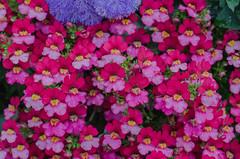 Flowers (frankmh) Tags: plant flower sofiero sofierocastlegarden helsingborg skåne sweden outdoor