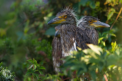 Yellow-crowned Night Heron | 2017 -15 (RGL_Photography) Tags: americannightheron birding birds birdwatching capemaycounty greateggharborbay heron littlefingerchannel mothernature nikonafs200500mmf56eedvr nikond610 nyctanassaviolacea ornithology rookery squawk staintonmemorialcauseway wadingbirds wildlife wildlifephotography yellowcrownednightheron unitedstates us gardenstate nature newjersey
