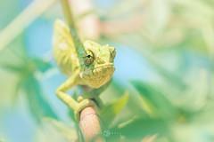 Mediterranean chameleon (Chamaeleo chamaeleon) (Kristian Bell) Tags: mediterranean chameleon chamaeleo chamaeleon reptile lizard spain andalucia colorful animal wild wildlife fauna kris kristian bell canon