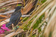 Caribbean Grackle (ronmcmanus1) Tags: antigua bird nature outdoors wildlife jollyharbour stmarysparish antiguabarbuda