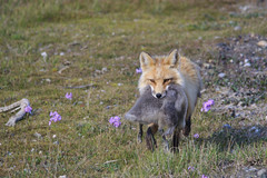 Predator and Prey (blkwolf1017) Tags: predator prey fox redfox goose tundra prudhoebay alaska canon50d sigma150500mm