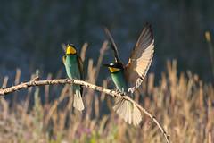 Adelr_20170610_1371 (reneadelerhof) Tags: hongarije bijeneter merops apiaster bee eater bird vogel madar bienenfresser gyurgyalag colors couple