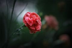 After the rain. Hopeful red. (Gudzwi) Tags: cloves nelken carnation garten garden blur bokeh dark lichteinfall light rosa pink rain regen regentropfen raindrops blüte blossom flower blume