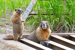 3 Marmots (Larry1732) Tags: marmots highway12 lamsa colorado crestedbutte cattleguard
