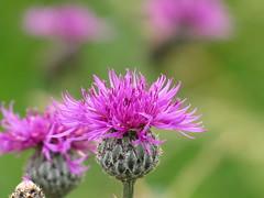 IMG_9329 (germancute) Tags: wildflower nature outdoor blume flower summer sommer wiese