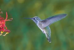 Ladys choice. (Omygodtom) Tags: outside wild wildlife anashummingbird animal animalplanet bird flower flickr red green nikkor digital star rural natural nature nikon d7100 bokeh tamron90mm tamron contrast