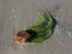 Stone_with_green_baird (ЕгорЖуравлёв) Tags: baltic sand 2017 canon beach stone seaweed