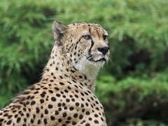 Sabber es gibt gleich was zu Fressen (rollirob) Tags: geparde raubtiere raubkatzen afrika steppe gefleckt olympus75300mm olympusomdem5markll