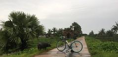 Myanmar, Yangon Region, Southern District, Kawhmu Township, Yae Kyaw Village Tract, Kyon Hpar Village (Die Welt, wie ich sie vorfand) Tags: myanmar burma bicycle cycling yangonregion yangon rangoon southerndistrict kawhmutownship kawhmu yaekyaw pig swine hog surly steamroller kyonhpar