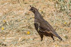 Unobtrusive California Quail (MelRoseJ) Tags: sanrafael california unitedstates birds nature a77ii alpha autofocus sonyalpha sal70400g sony sonyilca77m2 californiaquail quail lasgallinas