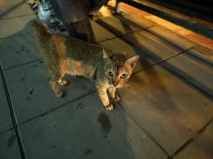 P7151113 (tatsuya.fukata) Tags: thailand samutprakan cat animal