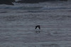 IMG_4715 (armadil) Tags: mavericks beach beaches californiabeaches bird birds blackoystercatchers blackoystercatcher flying