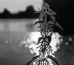 Stinging nettle (davidwalker58) Tags: beautiful nikon247028 nikond750 bw sunset water