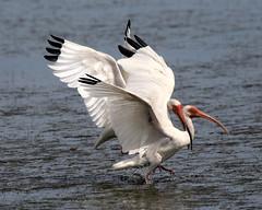 Duling White Ibis (dbadair) Tags: wildlife nature bird shore flight gulf ft desoto 7dm2 canon