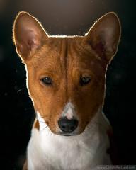 Houdini The Basenji | Portrait (Lundeful) Tags: houdini basenji dog animals portrait dust lighting lightroom photoshop canon 70d portraits closeup puppy puppies cute game