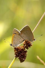 Parende kleine vuurvlinders (Berry Polling) Tags: butterfly mating vlinders closeup kleinevuurvlinder