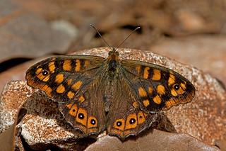 Pararge aegeria - the Speckled Wood