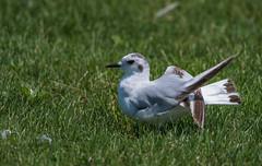 Mouette pygmée/Little gull 18072017-_PM16825 (michel paquin2011) Tags: rouge mouette pygmée petit rare