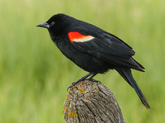 Red-winged Blackbird (annkelliott) Tags: alberta canada swofcalgary nature wildlife ornithology avian bird birds redwingedblackbird agelaiusphoeniceus male adult sideview perched post fencepost weathered lichen field grass bokeh outdoor spring 28may2017 fz200 fz2004 annkelliott anneelliott ©anneelliott2017 ©allrightsreserved