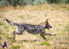 P7150951 (Songdog Studios) Tags: green dog neumond womensretreat 2017 k9 schutzhund ipo
