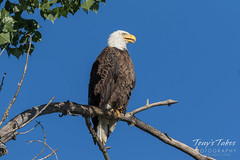 Handsome male Bald Eagle
