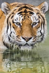 Refection of Beauty and Power (Kyle William Russell) Tags: reflection tiger beautiful stunning amazing wow detail eyes nose mouth orange whiskers water blue green fur stripes black white tough powerful africa illinois zoo kyle russell photography canon