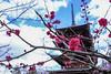 FXT24092 (kevinegng) Tags: kongousan saisyoin hirosaki aomoriprefecture japan 日本 青森県 弘前市 金剛山 最勝院 buddhisttemple temple pagoda 5storeypagoda plumflower 梅花 五重塔 sunnyday cloudy cloudysky
