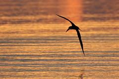 Black Skimmer Silhouette Sunset (dbadair) Tags: wildlife nature bird shore flight gulf ft desoto 7dm2 canon sun sunset dusk evening twilight