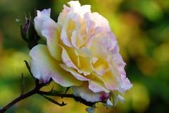 Ros (evisdotter) Tags: ros rose flower blomma dew dagg morning light macro bokeh sooc colors