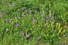 Bloody Cran's-bill. (mcgrath.dominic) Tags: bloodycransbill wildflowers theburren coclare