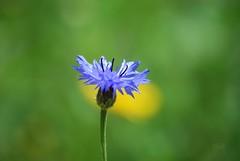 Corn-flower (hub en gerie) Tags: flower cornflower blue summer nature zomer bloem korenbloem blauw natuur allnaturesparadise