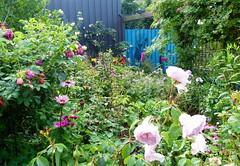 2017 Germany // Unser Garten - Our garden // im Juli // (maerzbecher-Deutschland zu Fuss) Tags: 2017 garten natur deutschland germany maerzbecher garden unsergarten juli