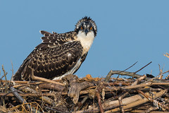 Osprey of Sandy Hook | 2017 - 34 (RGL_Photography) Tags: birding birds birdsofprey birdwatching fisheagle fishhawk gardenstate gatewaynationalpark jerseyshore monmouthcounty newjersey nikonafs600mmf4gedvr nikond500 osprey pandionhaliaetus pandionidae raptors sandyhook seahawk us unitedstates wildlife wildlifephotography mothernature