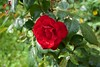 Red Rose (Sphinx Qwerty) Tags: rose redrose flower redflower niceflower