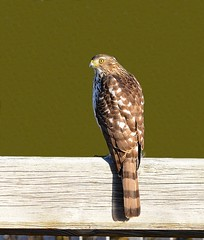 Coopers Hawk (KoolPix) Tags: coopershawk hawk raptor birdofprey beak feathers fence koolpix jaykoolpix naturephotography jay nature wildlife wildlifephotos naturephotos naturephotographer animalphotographer wcswebsite nationalgeographic fantasticnature amazingnature wonderfulbirdphotos animal amazingwildlifephotos fantasticnaturephotos incrediblenature naturephotographywildlifephotography wildlifephotographer mothernature
