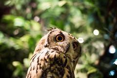 Owl cafe Japan (4 Leaf Clover) Tags: owl cafe owlcafe nightanimal bird eyes nature japan 60mm nikon nikkor d810 harajuku