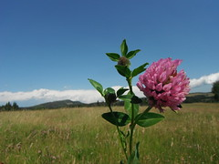 K - Country Wild Flowers (Mr. Happy Face - Peace :)) Tags: wildflowers albertabound wilderness happymacromonday hmm clover macromonday pink floral canada150 scenry environment alberta