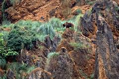Oso Pardo (R.D. Gallardo) Tags: canon eos 6d naturaleza raw hdr oso pardo bear cantabria cabarceno tamron 70200 f28 explore