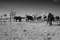 Elephants at Watering Hole (naturalturn) Tags: herd elephant warthog savanna wateringhole water infrared blackwhite blackandwhite savuti chobe chobenationalpark botswana image:rating=5 image:id=205726
